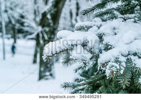 Branch Of A Firtree Growing In A Park Covered With Snow. Winter Landscape For Postcards Or Backdrop.
