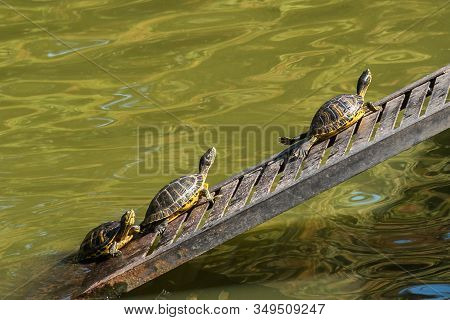 Tree Little Turtles Coming Out Of The Water On An Iron Walkway With Oxid In A Pond. Fauna And Nature