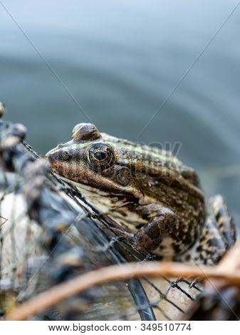 Frog Is Sitting On Fishing Nets. The Net Of A Fisherman. Frog In The Pond.frog Is Sitting On Fishing