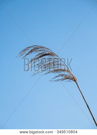 Common Reed. The Inflorescence Of The Reed Against The Blue Sky. Plant For The Pond.the Stem Of A Re