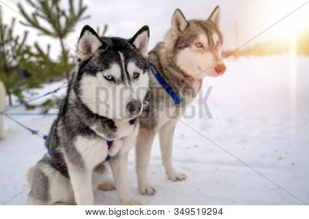 Siberian Husky Sled Dog Racing. Mushing Winter Competition. Husky Sled Dogs In Harness Pull A Sled W