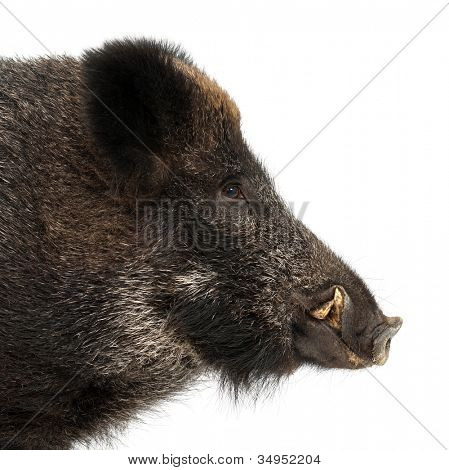 Wild boar, also wild pig, Sus scrofa, 15 years old, portrait and close up against white background