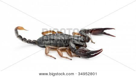 European Yellow-Tailed Scorpion, Euscorpius flavicaudis, against white background