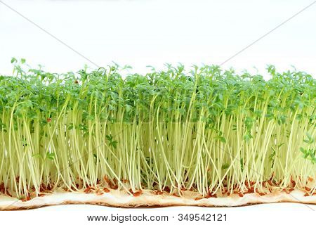 Garden Cress On White Background.  Young Cress, Lepidum Sativum, Growing From Cotton Wool. Also Call