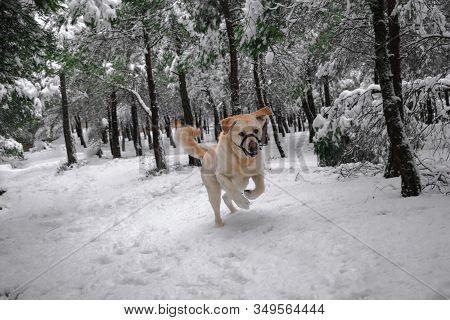 Labrador Dog Runs Through A Snowy Forest. Animal And Pets Concept.