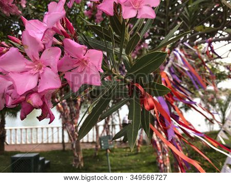 Colored Ribbons Are Tied On A Tree With Pink Flowers. The Tree Is Decorated With Ribbons Of Differen