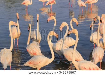 Flock Of Flamingos In The Water In Camargue, France