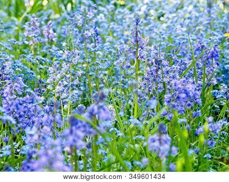 Common Bluebells