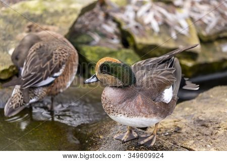 Americam Wigeon. North American Duck  (mareca Americana), Also Called A Baldpate. Male Sitting On Th