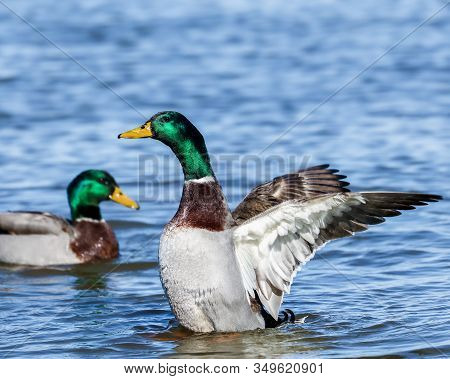 A Green Head Duck Spreading Its Wings With Another Green Head Duck In The Background