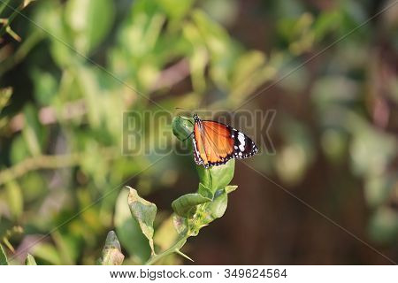Close-up Of A Orange Butterfly On Lemon Green Leaf In Nature With Blur Green Leaves Backgrounds, Out