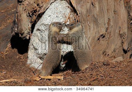 Marmots Wrestling