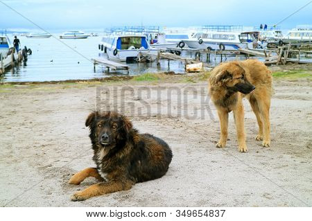 Dogs Relaxing On The Shore Of Lake Titicaca, The Town Of Copacabana, Bolivia, South America