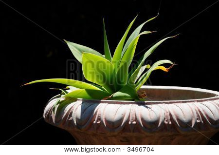 Agave In Planter