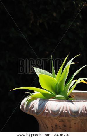 Horizontal Agave In Planter
