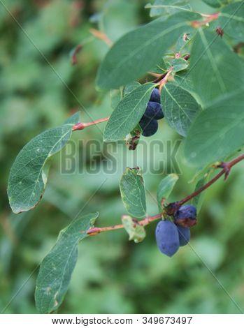 Blue Honeysuckle Lonicera Caerulea Var. Edulis . Known Also As Honeyberry, Blue Berry Honeysuckle, S