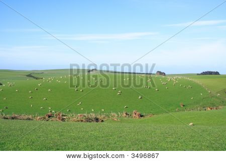 Sheep And Grassland