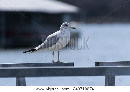 A Solitary Ring Billed Gull Standing On The Metal Railing Of A Pier At A Dock With A Part Of A Marin