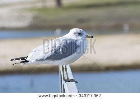 A Solitary Ring Billed Gull Standing On The Metal Rail Of A Lakeside Pier With Some Of The Water And