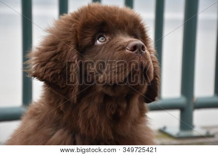 Adorable Brown Newfoundland Pup Looking Up While Sitting Down.