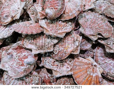 Closeup View Of Fresh Scallop Shell On Sale On Local Market.