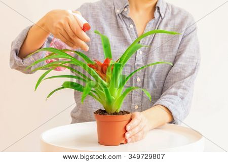 Young Woman Spraying Guzmania Plant In A Pot On Light Neutral Background. Plant Care Concept