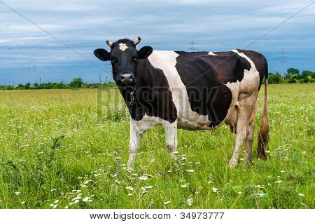 Portrait of black and white cow gazing to the camera