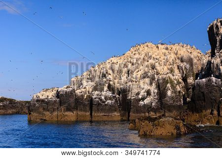 Farne Islands Bird Colony.  Guillemots Nesting On The Cliffs Of The Farne Islands Off The Coast Of N