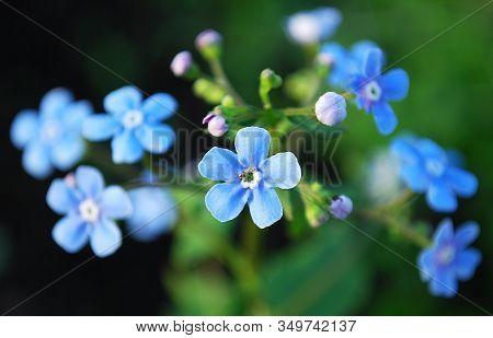 Delicate Blue Myosotis Bells Decorating A Summer Flower Bed