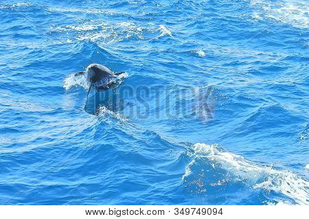 Dolphin Leaping Over The Boats Wake, During A Whale Watching Tour Out Of Newport Beach, California.