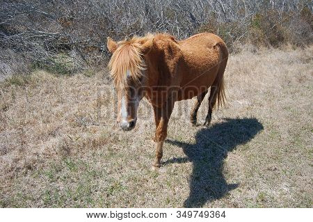 Wild Horse Roaming Assateague Island, Maryland, In The United States
