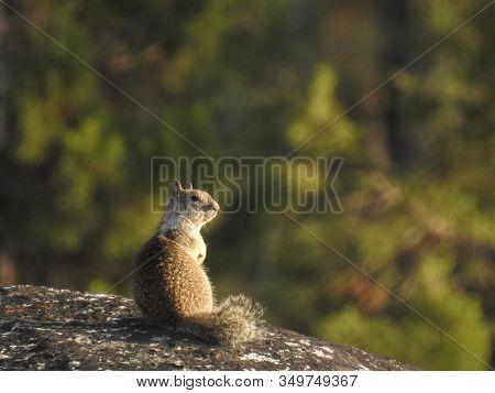 California Ground Squirrel Sitting On A Boulder In The Western Sierra Nevada Mountains, California.