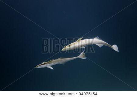 Suckerfishes