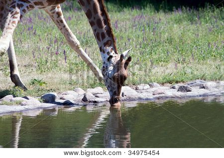 Giraffe Drinks Water.