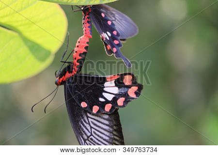Close Up Of A Black Female Butterfly Insect Hanging From Male Butterfly On Green Lemon Leaf, Butterf