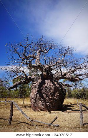 Australian boab prison tree