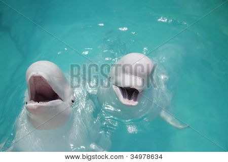 two beluga whales (white whale) in water