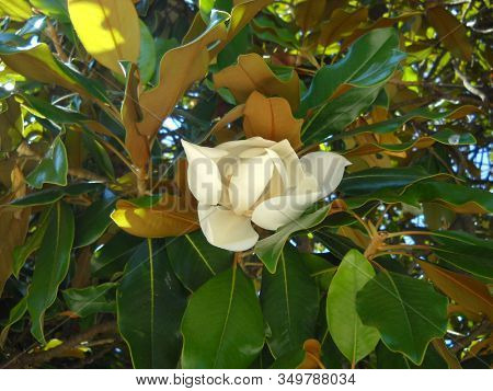 Large Magnolia Flower. Large White Petals Cover The Yellow Stamens And Pistils. Wide Shiny Green Lea