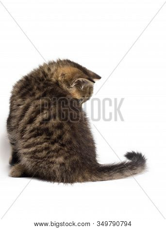 Little British Gray Cat Isolated On White Background. Back View.