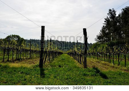 Vineyard Photography In Spring At South Moravian