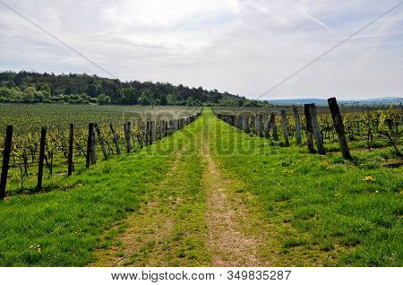 Big Vineyard And Wide Walking Route Spring Landscape