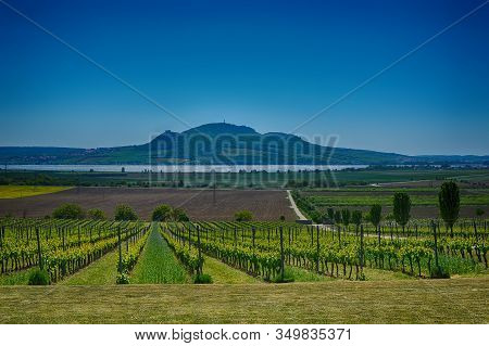 Vineyard Near Palava Protected Landscape Area