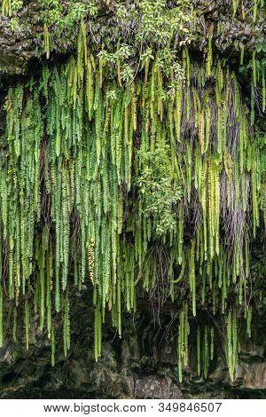 Kamokila Village, Kauai, Hawaii, Usa. - January 16, 2020: Closeup Of Group Of Green Sword Ferns Hang
