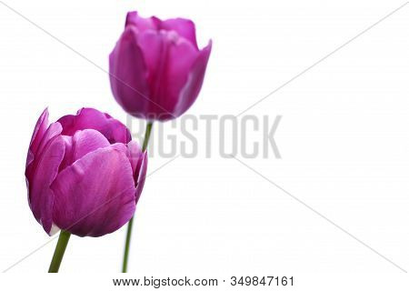 Two Purple Tulips, (tulipa), Against A White Background With Copyspace