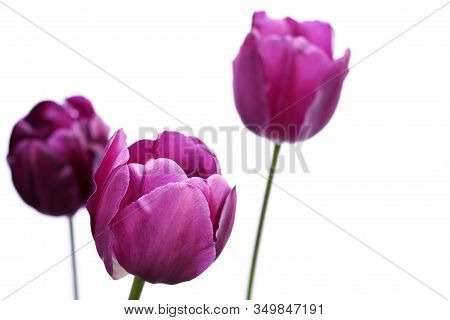 Side View Of Purple Tulips, Latin Name Tulipa, Isolated Against A White Background.