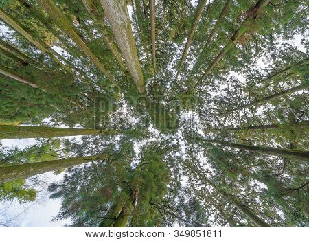 Japanese Giant Cedar Trees In Forest. Tall Trees At Arashiyama In Travel Holidays Vacation Trip Outd
