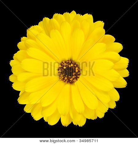 One Blossoming Yellow Pot Marigold Flower Isolated