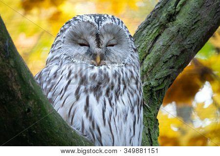 Ural Owl, Strix Uralensis. Nocturnal Owl Sitting On Tree Branch In Autumn Forest.