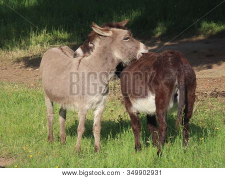 Two Domestic Donkeys - Grey And Black - Grooming Each Other On A Sunny Summer Day, Focus On Grey Don
