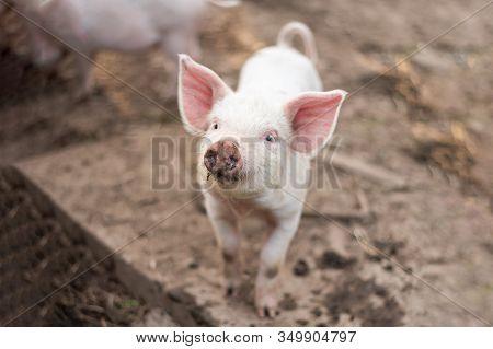Little Cute White Pig On A Farm.